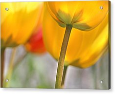Dancing Yellow Tulip Flowers Acrylic Print by Jennie Marie Schell