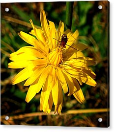 Dandelion And Bug Acrylic Print by Pete Trenholm