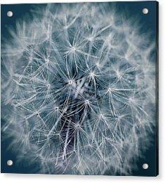 Dandelion Acrylic Print by Andrew Dernie