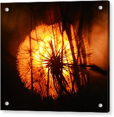 Dandelion At Sunset Acrylic Print