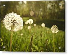 Dandelion Basking In The Sun Acrylic Print