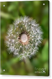 Acrylic Print featuring the photograph Dandelion by Carsten Reisinger
