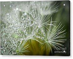 Dandelion Dew Acrylic Print