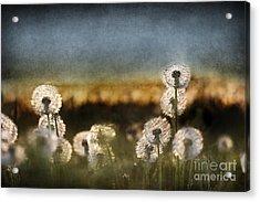 Dandelion Dusk Acrylic Print