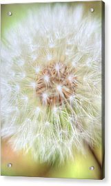 Dandelion Acrylic Print by Ester  Rogers