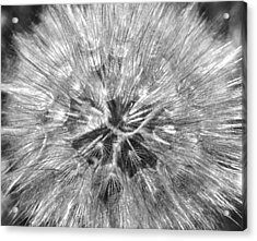 Dandelion Fireworks In Black And White Acrylic Print by Rona Black