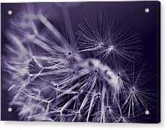 Dandelion Fly Away Dark Purple Acrylic Print by Jennie Marie Schell