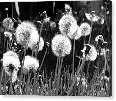 Dandelion Group Acrylic Print