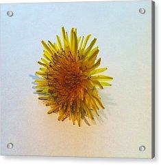 Dandelion II Acrylic Print by Anna Villarreal Garbis