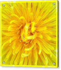Dandelion In Macro Acrylic Print
