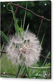 Dandelion In The Field Acrylic Print by Linda Walker