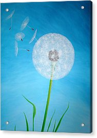 Dandelion In The Summer Acrylic Print by Sven Fischer