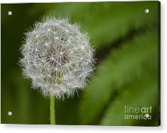 Acrylic Print featuring the photograph Dandelion by JRP Photography