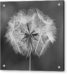 Dandelion Acrylic Print by John Topman