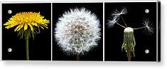 Dandelion Life Cycle Acrylic Print by Steve Gadomski