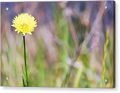 Dandelion Acrylic Print by Lorri Crossno
