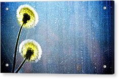 Dandelion Parachute Balls Acrylic Print