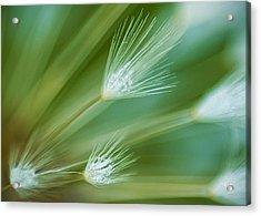 Dandelion Plume Acrylic Print