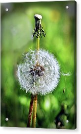 Dandelion Released Acrylic Print by Joanne Brown