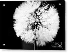 Dandelion Acrylic Print by Scott Pellegrin