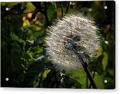 Dandelion Seeds Ready To Be Dispersed Acrylic Print