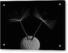 Dandelion Seeds  Waterloo, Quebec Acrylic Print by David Chapman