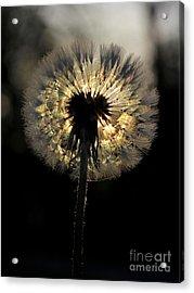 Dandelion Sunrise - 1 Acrylic Print