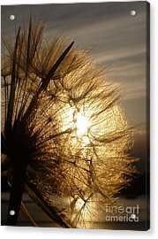 Dandelion Sunset Acrylic Print