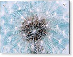 Dandelion (taraxacum Officinale) Seedhead Acrylic Print