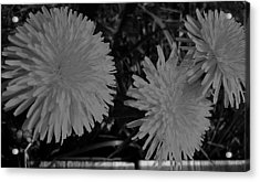 Acrylic Print featuring the photograph Dandelion Weeds? B/w by Martin Howard