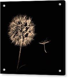 Dandelion With Seed Acrylic Print
