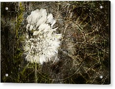 Dandelions Don't Care About The Time Acrylic Print