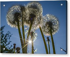 Dandelions In The Sun Acrylic Print by Adam Budziarek