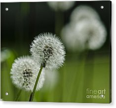 Dandelions  Acrylic Print by JRP Photography