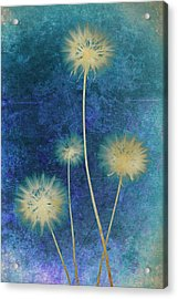 Dandelions Acrylic Print by Nicole Neuefeind