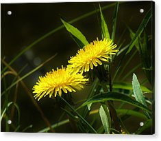 Acrylic Print featuring the photograph Dandelions by Sherman Perry