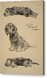 Dandie Dinmont Puppies, 1930 Acrylic Print by Cecil Charles Windsor Aldin