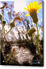Acrylic Print featuring the photograph Dandy Day by Kathy Bassett