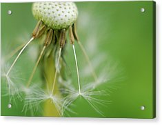 Acrylic Print featuring the photograph Dandy Hold-overs by Arthur Fix
