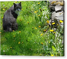Acrylic Print featuring the photograph Dandy Lion Cat by Christina Verdgeline