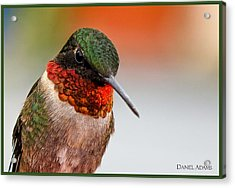 Da162 Hummingbird Thinking By Daniel Adams Acrylic Print