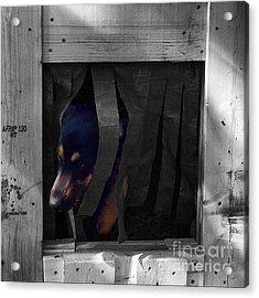 Darcy  #dog #dogs #darcy #gsd Acrylic Print