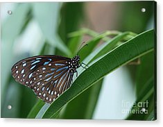 Dark Blue Tiger Butterfly #2 Acrylic Print