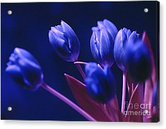 Acrylic Print featuring the photograph Dark Blue Tulips by Silva Wischeropp