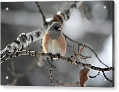 Acrylic Print featuring the photograph Dark-eyed Junco by Shane Bechler