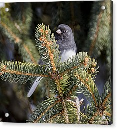 Dark-eyed Junco  Acrylic Print by Ricky L Jones