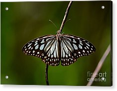 Dark Glassy Tiger Butterfly On Branch Acrylic Print
