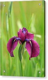 Dark Magenta Iris Acrylic Print