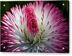 Dark Pink And White Spiky Petals Acrylic Print