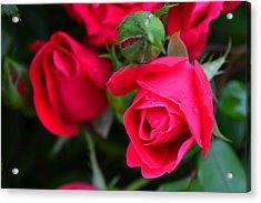 Dark Pink Roses #1 Acrylic Print